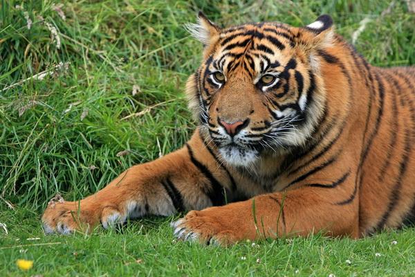 tiger 600